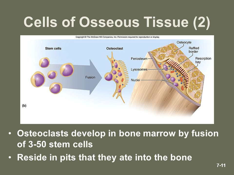 Cells of Osseous Tissue (2)