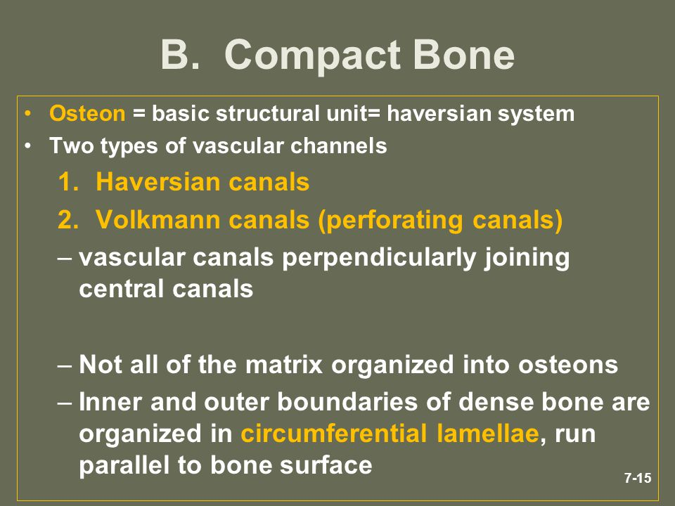 B. Compact Bone Haversian canals Volkmann canals (perforating canals)