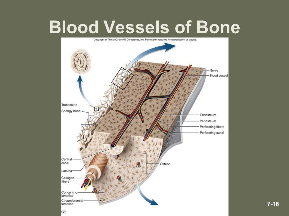 Blood Vessels of Bone