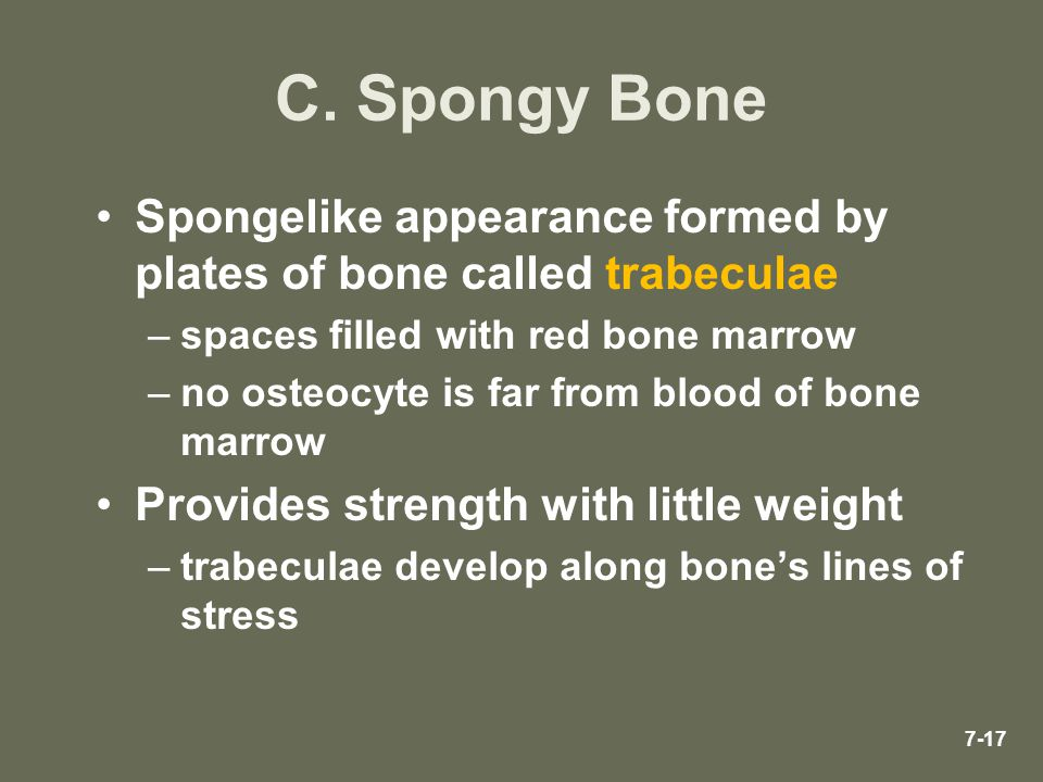 C. Spongy Bone Spongelike appearance formed by plates of bone called trabeculae. spaces filled with red bone marrow.