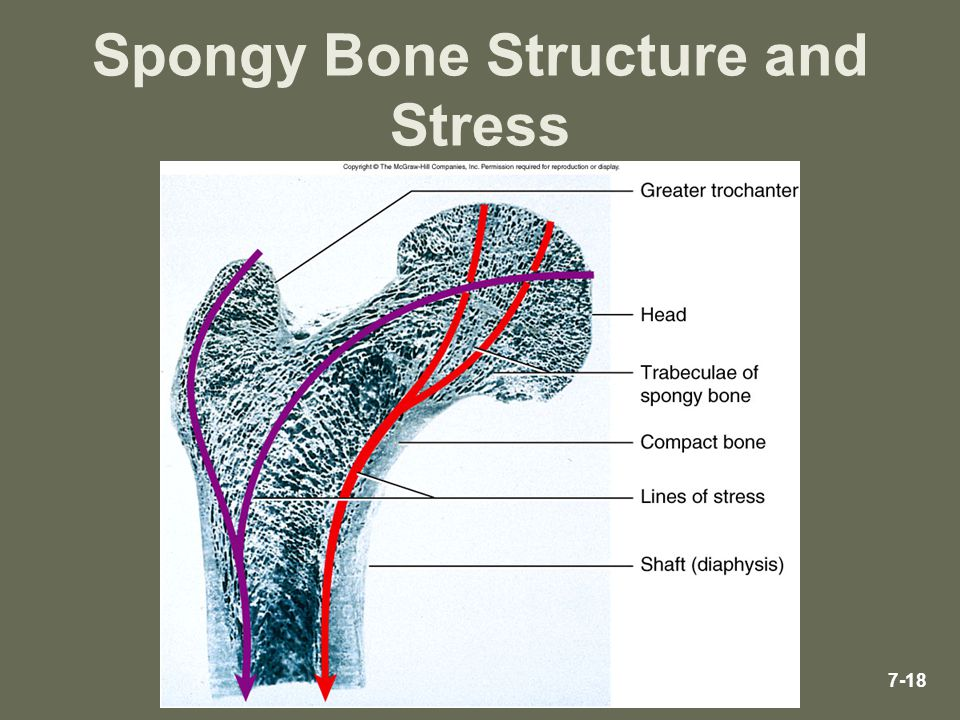Spongy Bone Structure and Stress