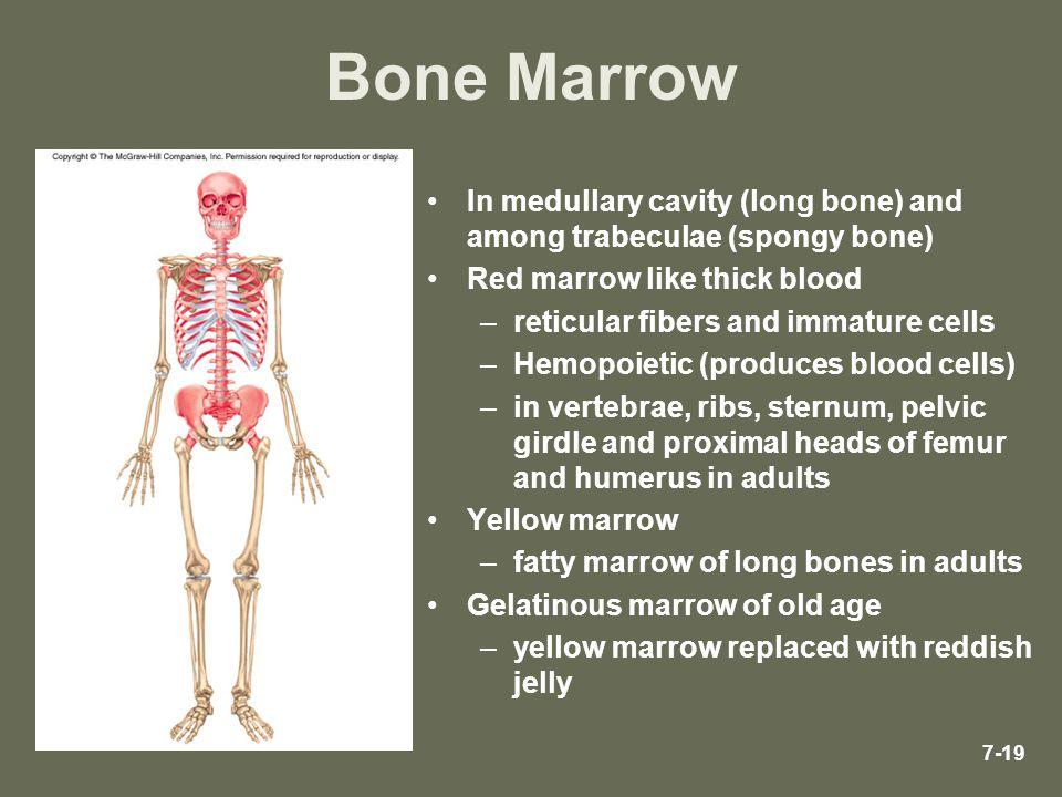 Bone Marrow In medullary cavity (long bone) and among trabeculae (spongy bone) Red marrow like thick blood.