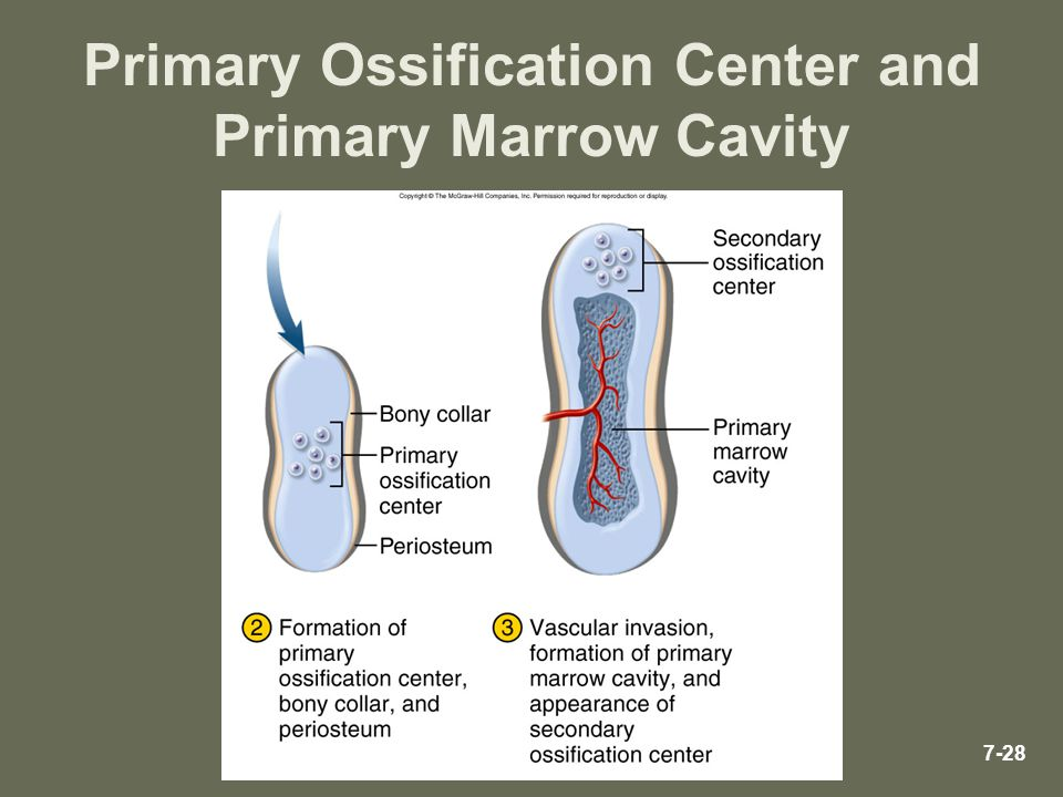 Primary Ossification Center and Primary Marrow Cavity