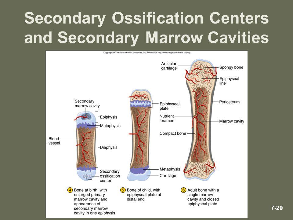 Secondary Ossification Centers and Secondary Marrow Cavities