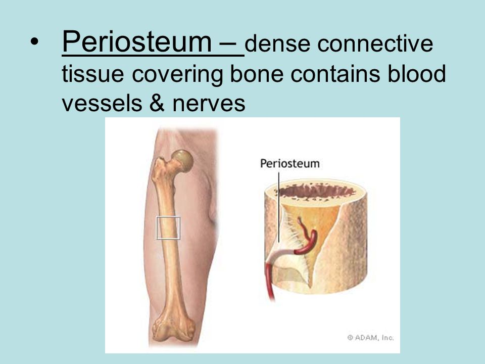 Periosteum – dense connective tissue covering bone contains blood vessels & nerves
