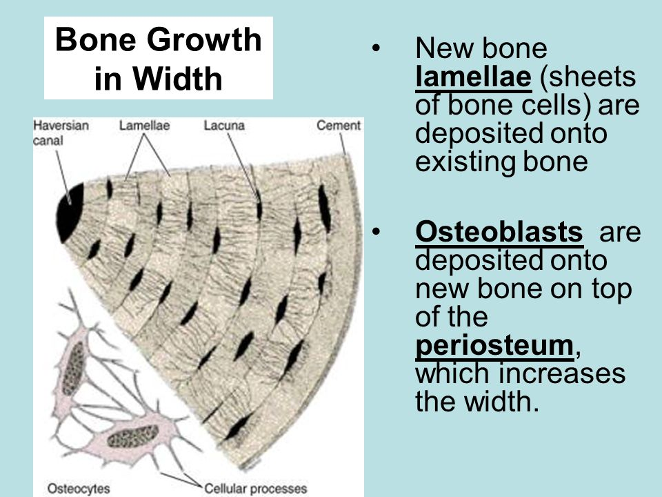 Bone Growth in Width New bone lamellae (sheets of bone cells) are deposited onto existing bone.