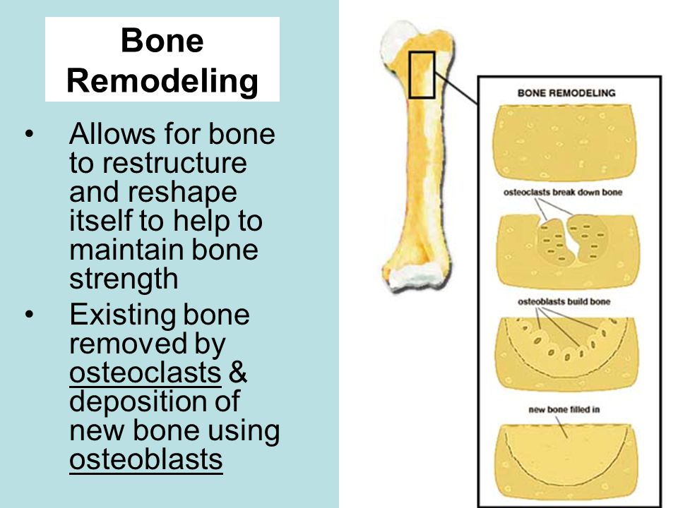 Bone Remodeling Allows for bone to restructure and reshape itself to help to maintain bone strength.