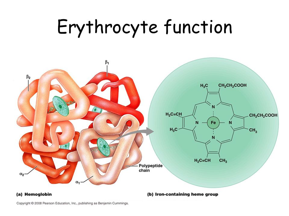 Erythrocyte function Dedicated to carry respiratory gas