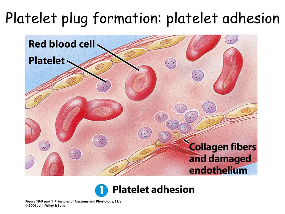 Platelet plug formation: platelet adhesion