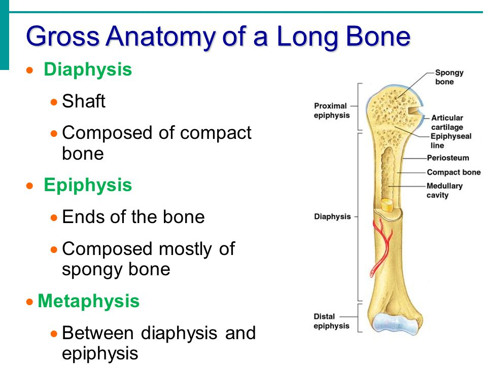 What does gross anatomy mean