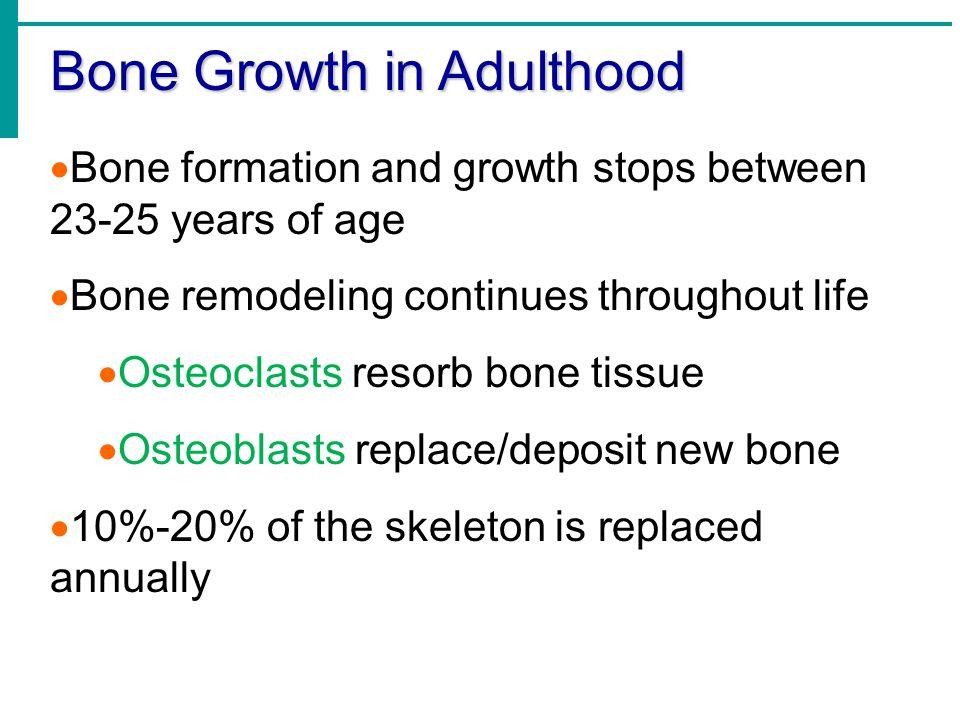 Bone Growth in Adulthood