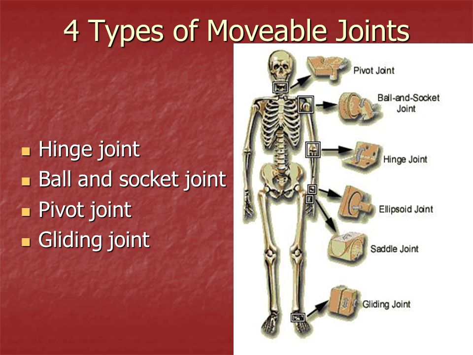 4 Types of Moveable Joints