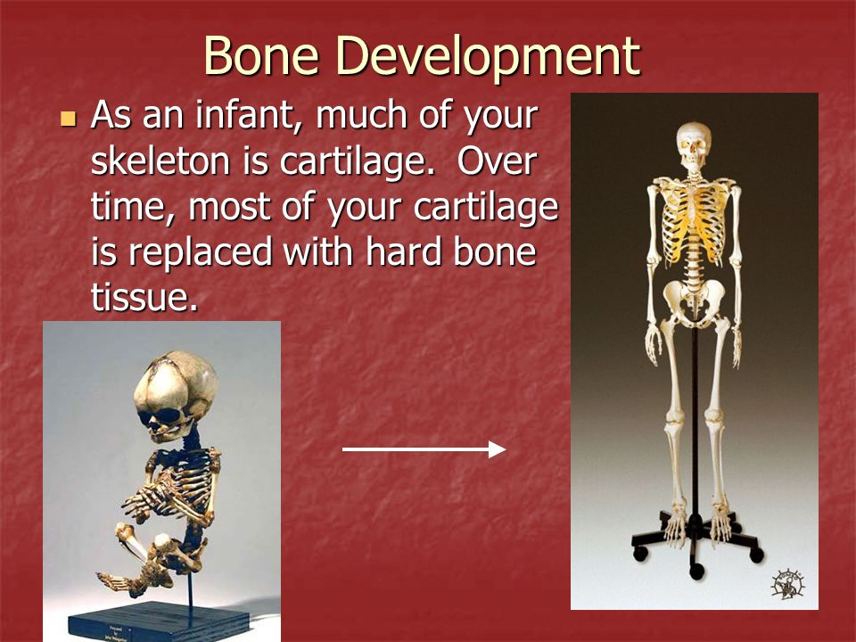 Bone Development As an infant, much of your skeleton is cartilage.