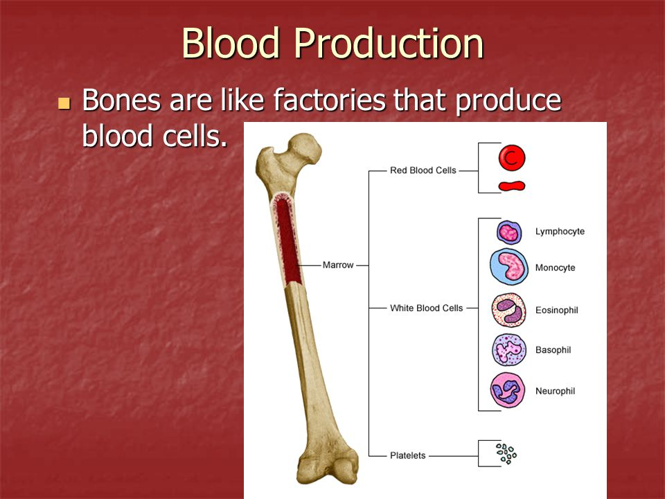 Blood Production Bones are like factories that produce blood cells.
