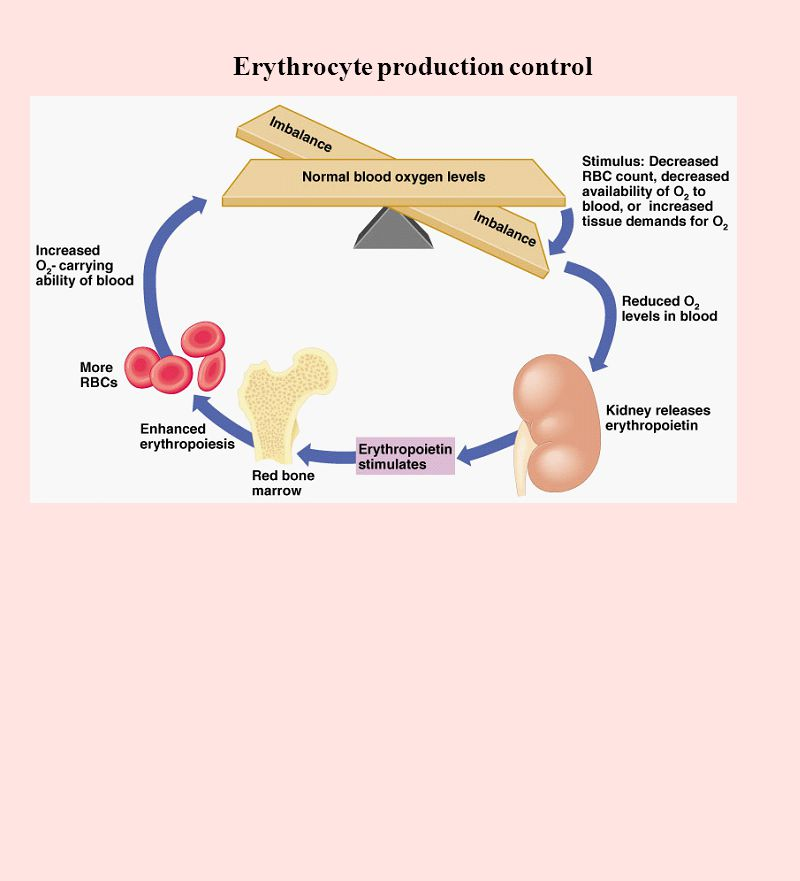 Erythrocyte production control