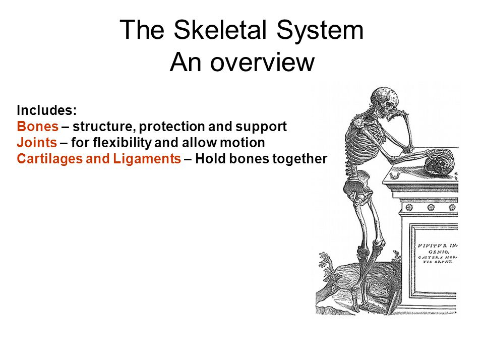 The Skeletal System An overview