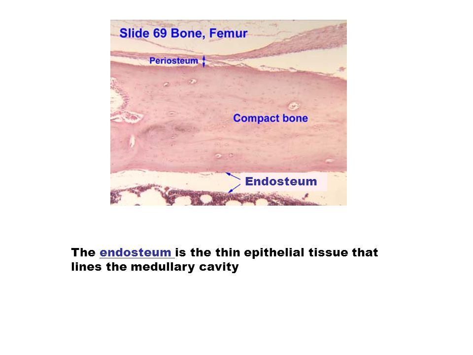 Endosteum The endosteum is the thin epithelial tissue that lines the medullary cavity