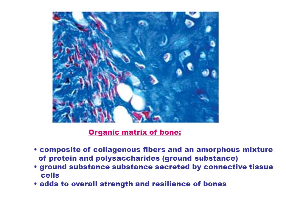 Organic matrix of bone: