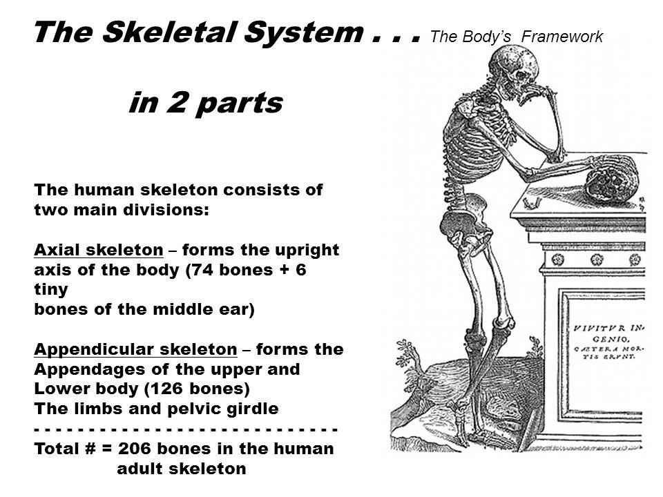 The Skeletal System . . . The Body's Framework in 2 parts
