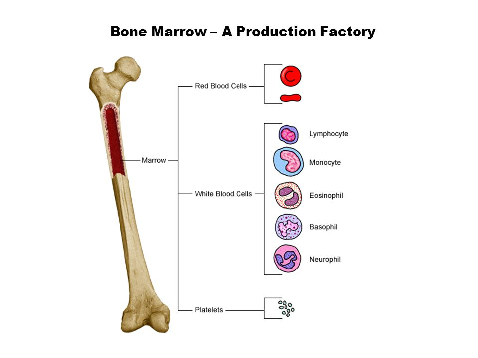 Bone Marrow – A Production Factory