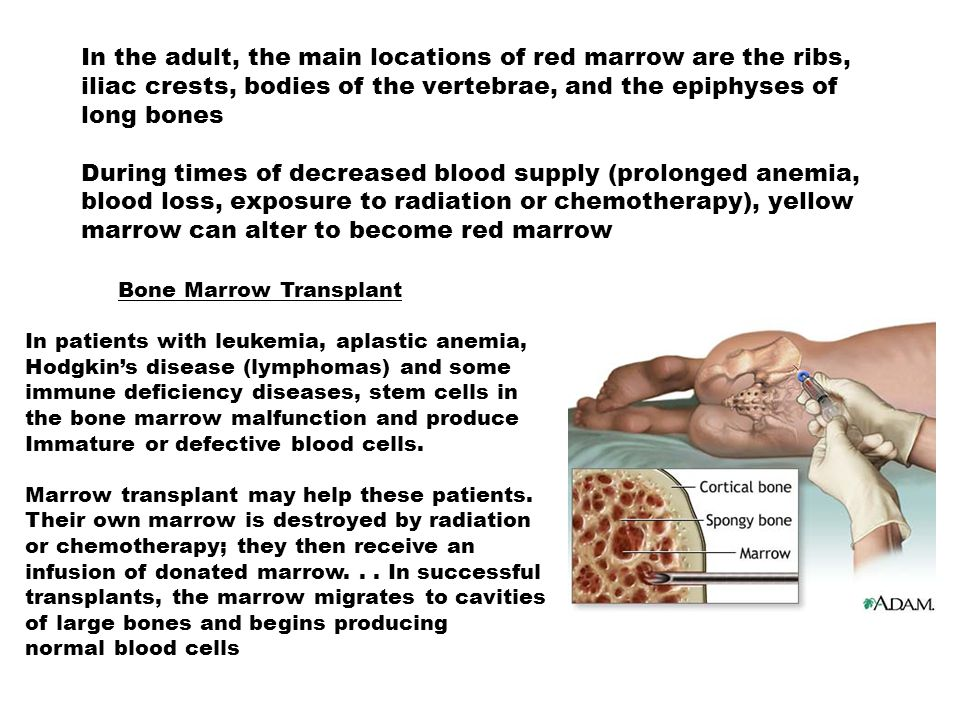 In the adult, the main locations of red marrow are the ribs, iliac crests, bodies of the vertebrae, and the epiphyses of long bones During times of decreased blood supply (prolonged anemia, blood loss, exposure to radiation or chemotherapy), yellow marrow can alter to become red marrow