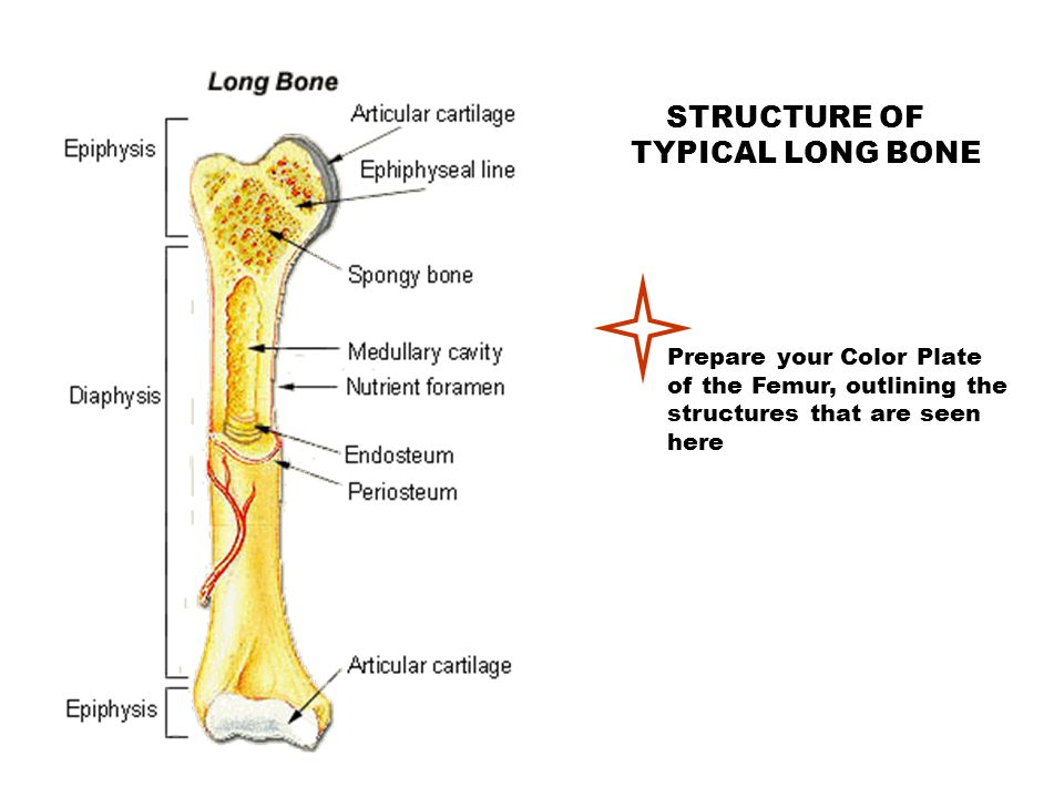 TYPICAL LONG BONE STRUCTURE OF Prepare your Color Plate