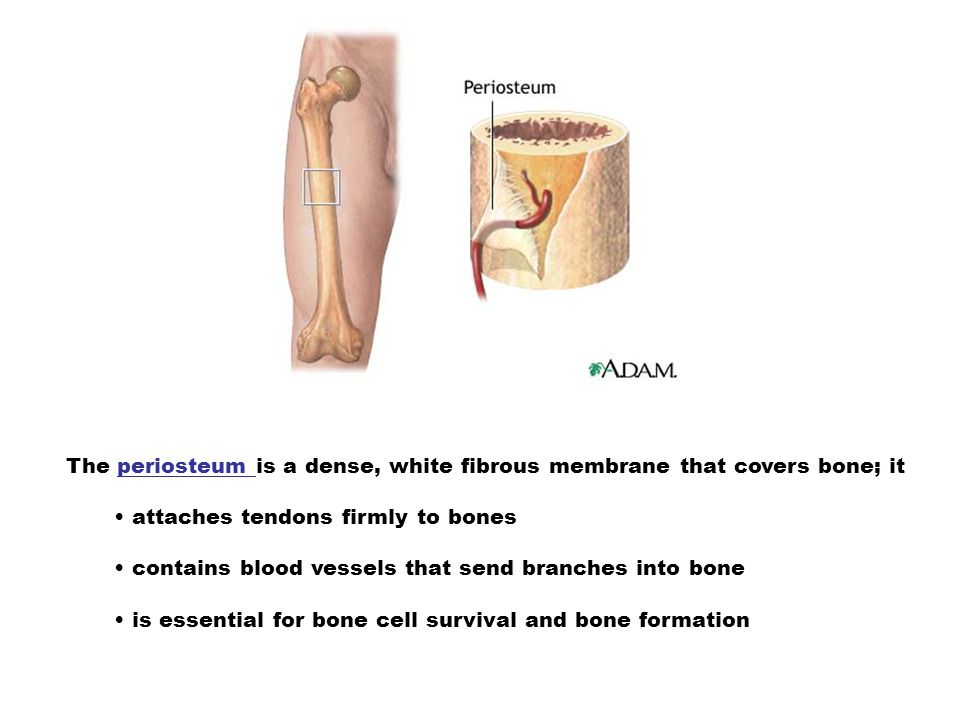 The periosteum is a dense, white fibrous membrane that covers bone; it