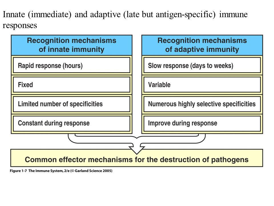 Innate (immediate) and adaptive (late but antigen-specific) immune responses