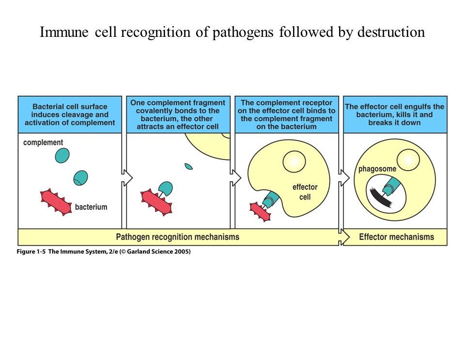 Immune cell recognition of pathogens followed by destruction