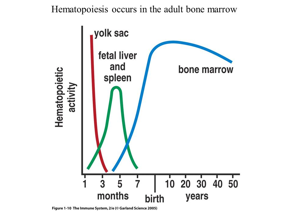 Hematopoiesis occurs in the adult bone marrow