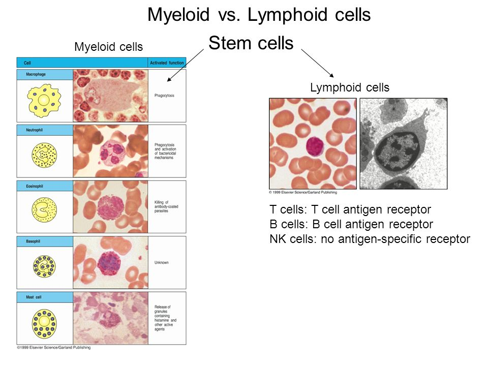 Myeloid vs. Lymphoid cells