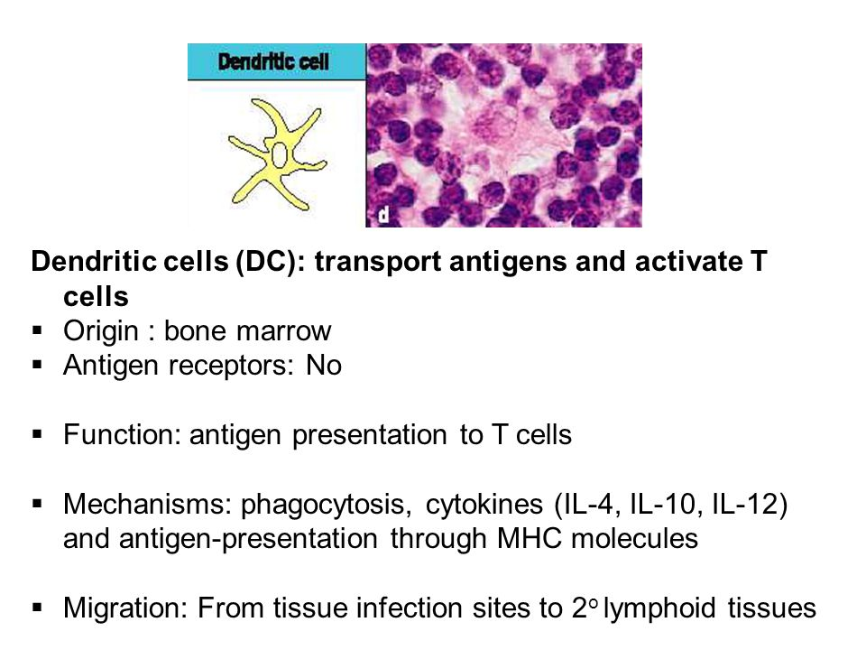 Dendritic cells (DC): transport antigens and activate T cells