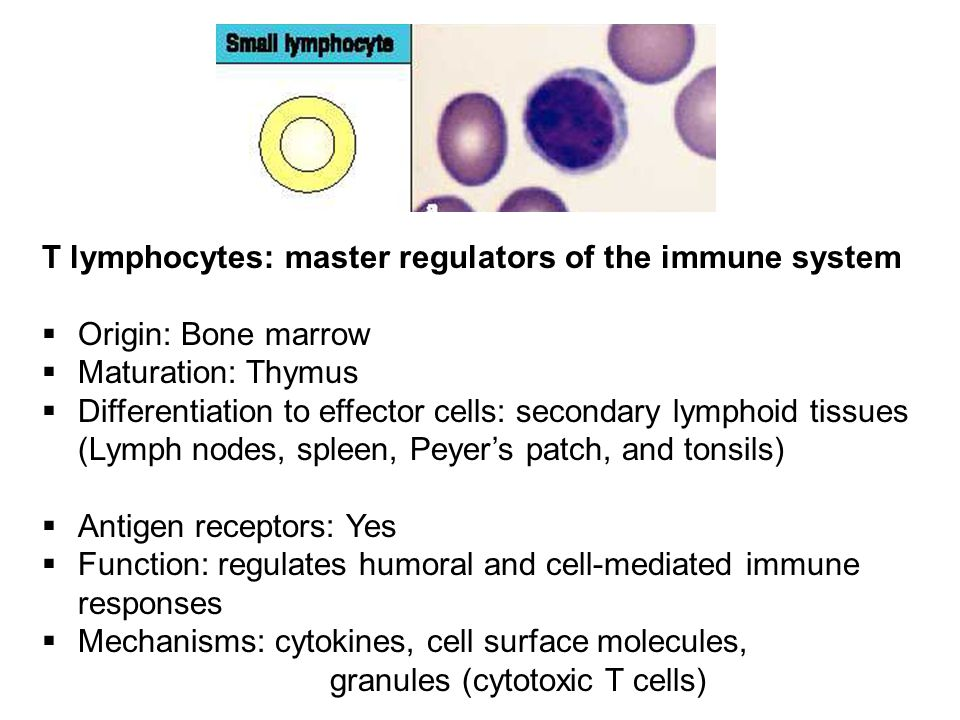 T lymphocytes: master regulators of the immune system