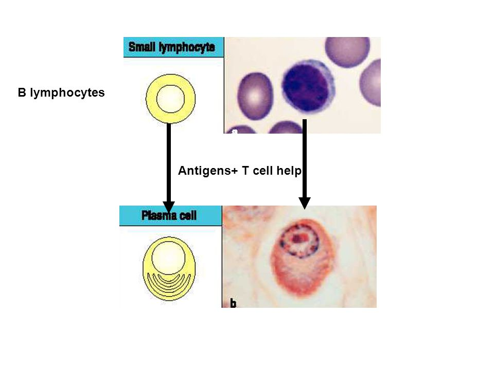 B lymphocytes Antigens+ T cell help