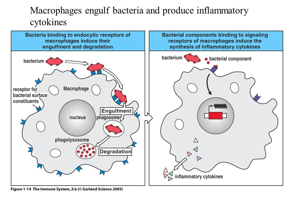 Macrophages engulf bacteria and produce inflammatory cytokines