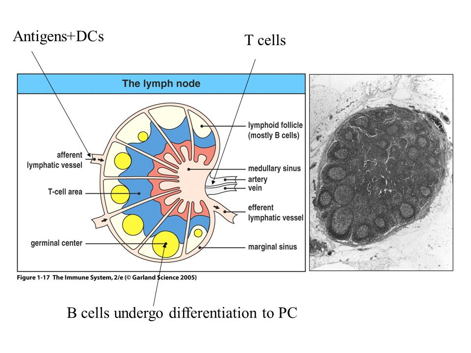 Antigens+DCs T cells Figure 1-17 B cells undergo differentiation to PC