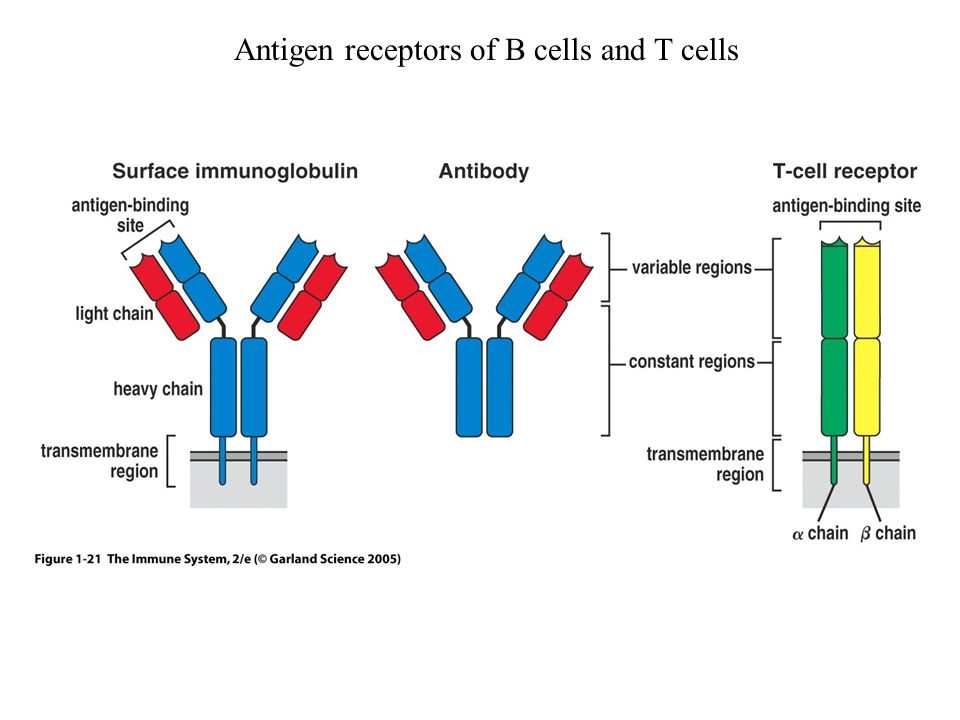 Antigen receptors of B cells and T cells