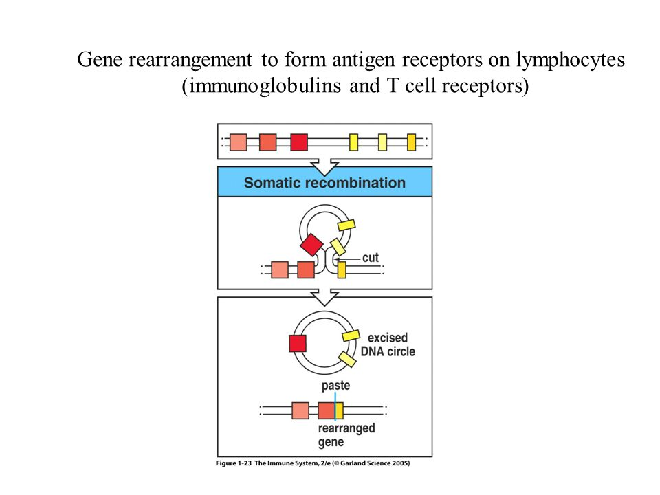 Figure 1-23 Gene rearrangement to form antigen receptors on lymphocytes.