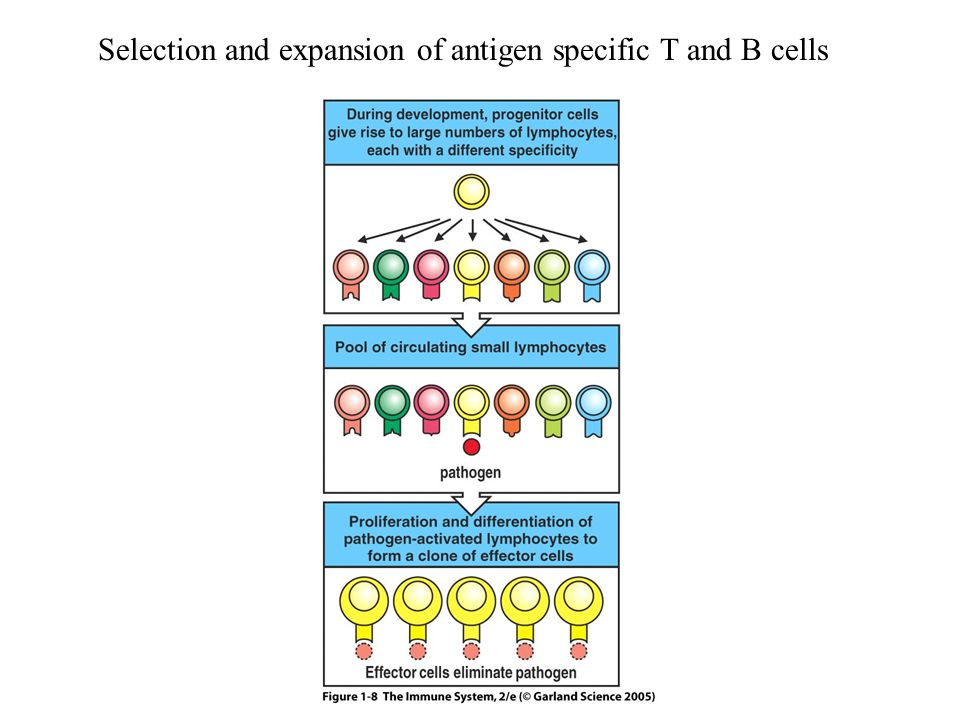 Selection and expansion of antigen specific T and B cells