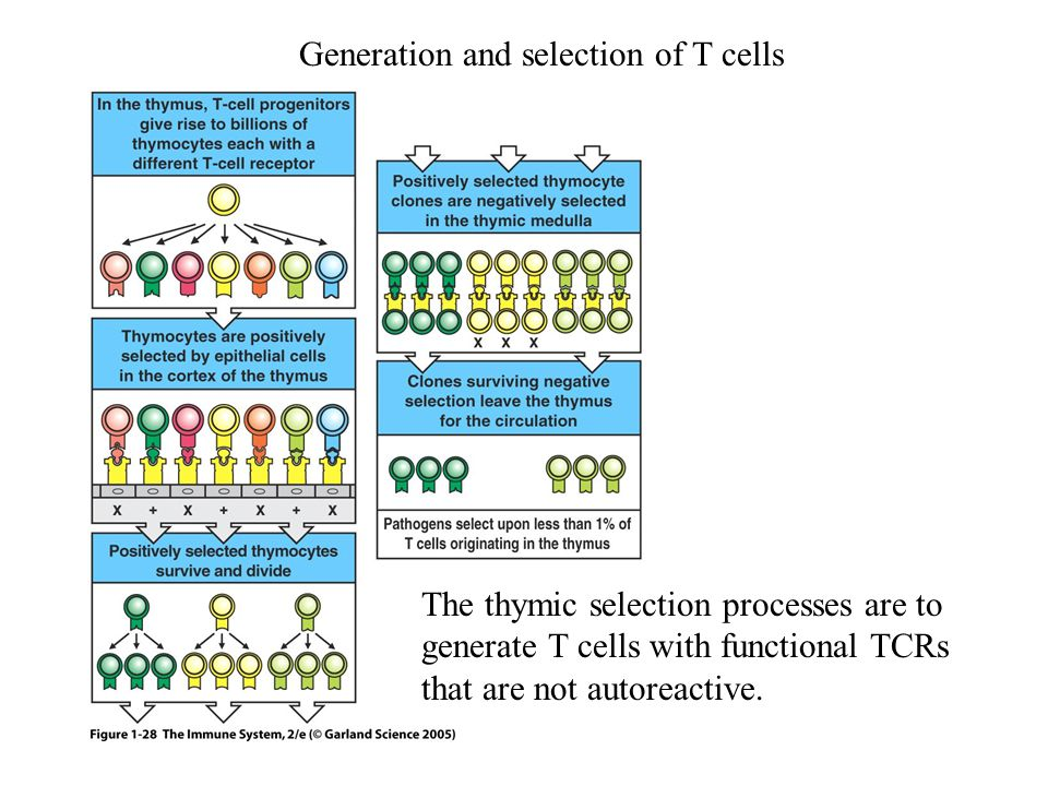 Figure 1-28 Generation and selection of T cells