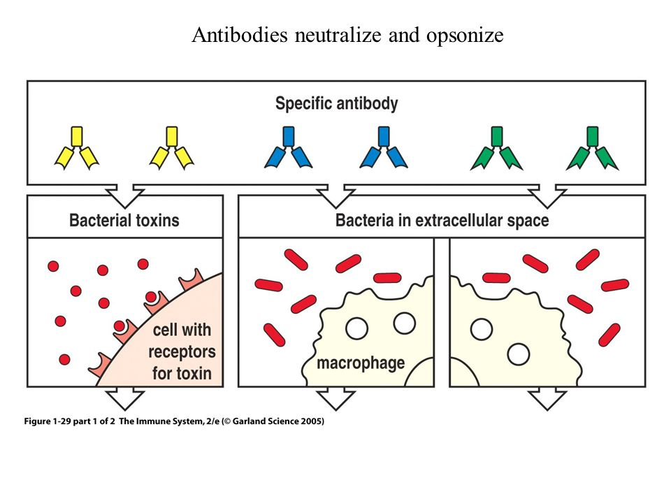 Antibodies neutralize and opsonize