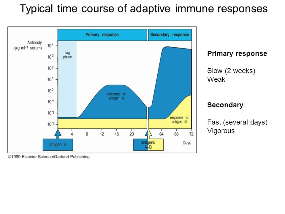 Typical time course of adaptive immune responses