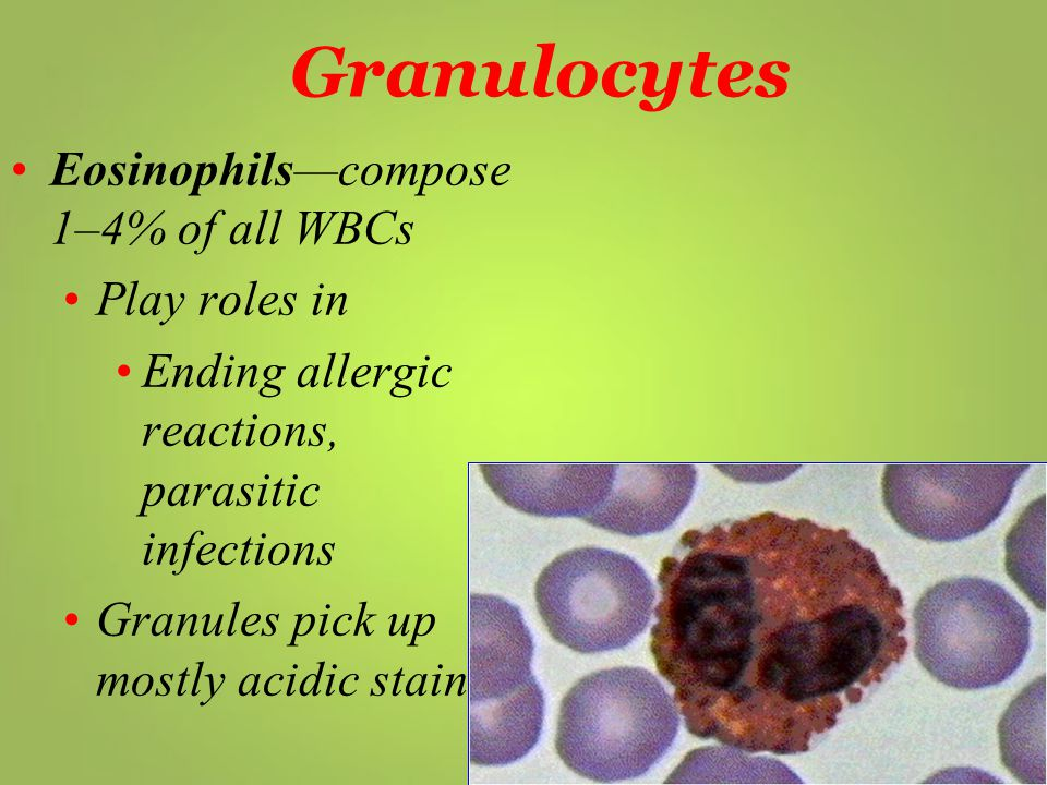 Granulocytes Eosinophils—compose 1–4% of all WBCs Play roles in
