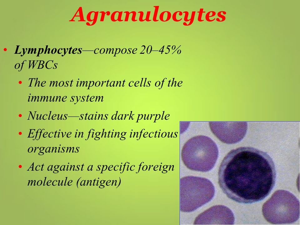 Agranulocytes Lymphocytes—compose 20–45% of WBCs