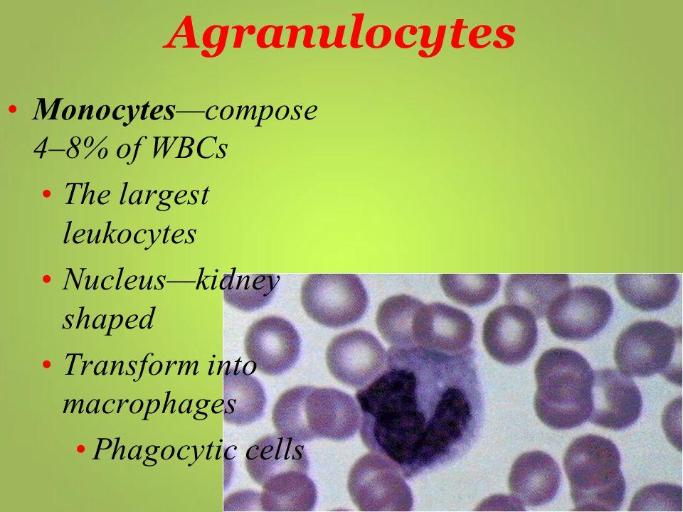 Agranulocytes Monocytes—compose 4–8% of WBCs The largest leukocytes