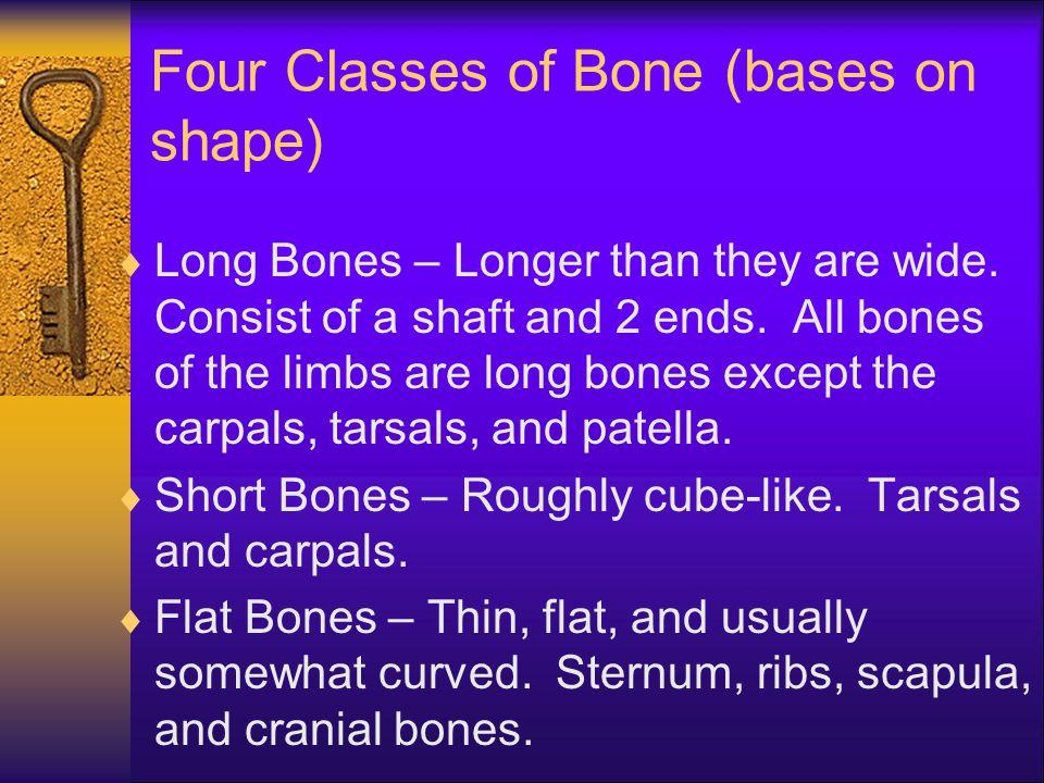 Four Classes of Bone (bases on shape)