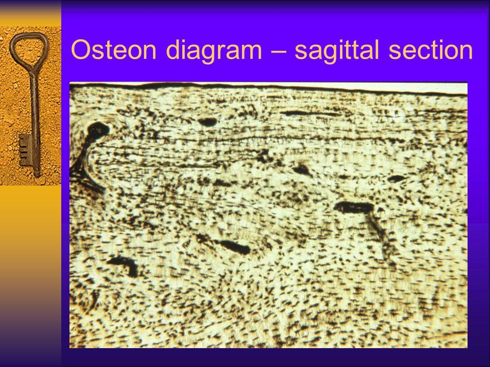 Osteon diagram – sagittal section