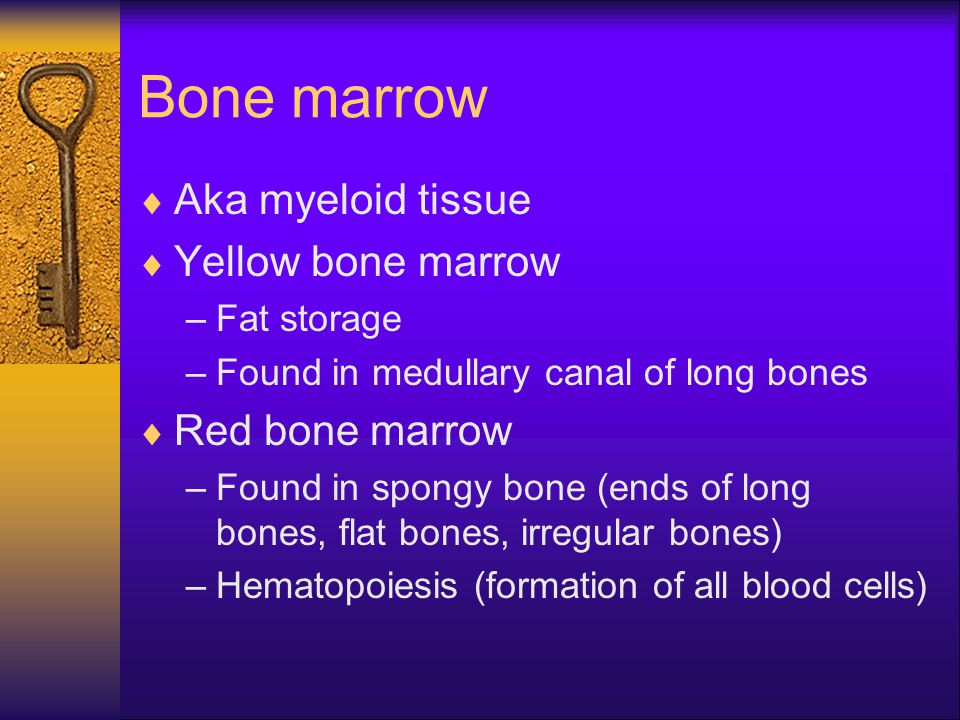 Bone marrow Aka myeloid tissue Yellow bone marrow Red bone marrow