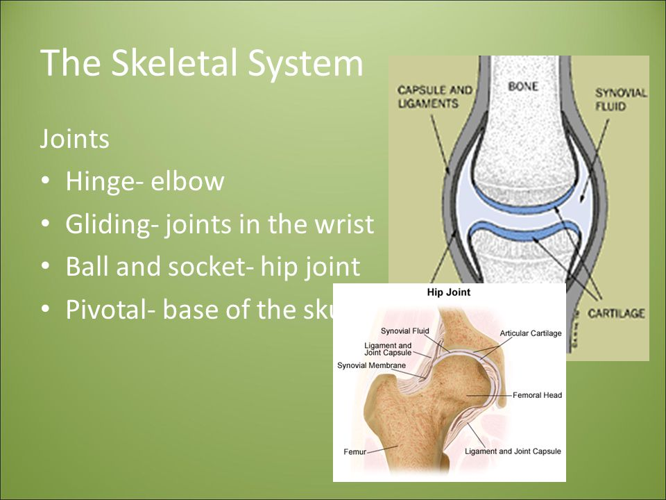 The Skeletal System Joints Hinge- elbow Gliding- joints in the wrist