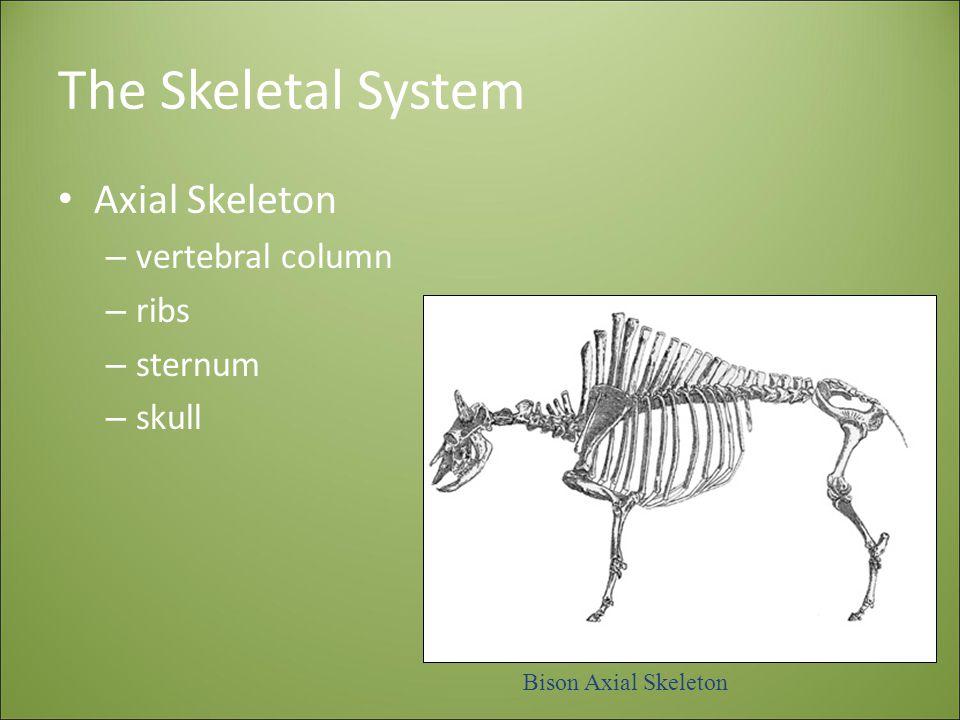 The Skeletal System Axial Skeleton vertebral column ribs sternum skull